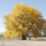 cottonwood-130-years-old